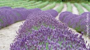 Lavendel, Landschaft Natur, Frankreich