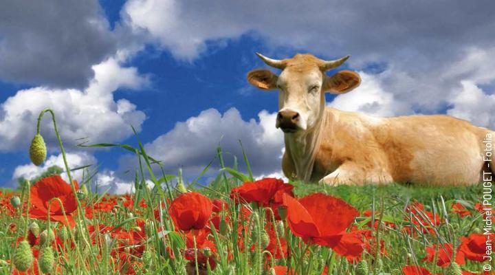 Mohn, Blume Pflanze, Allgemein, Natur, Tier, Kuh